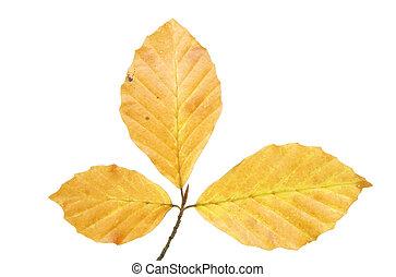 Autumn beech leaves - Three Autumnal beech tree leaves