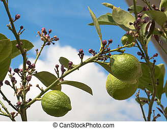 Unripe lemons on tree against blue and white sky
