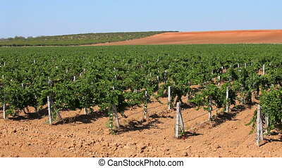 Vineyards - Huge fields of grapes planted in order to make...