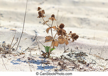 The plant dry flowers in the sand in the sun. Tumbleweed