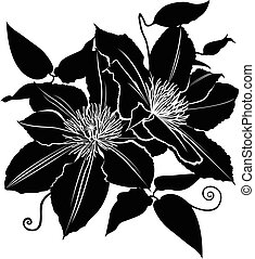 clematis. flower clematis. Branch of flowers of clematis...