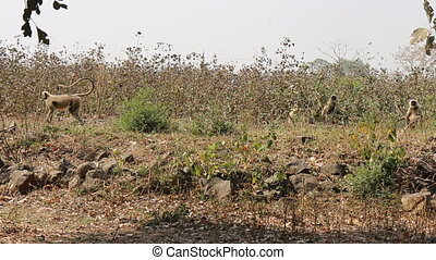 Monkeys Langur devastate fields of Indian farmers 1. Methods...