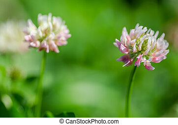 red clover detail - fresh red clover detail view