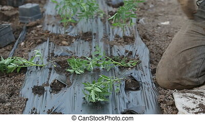 Tomato seedlings planting - Farmer planting tomato seedlings...