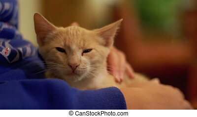 Ginger Kitten in the Hands of Women. Woman stroking a wild...