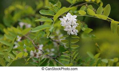 Acacia blossom. Springtime background. - Acacia blossom....