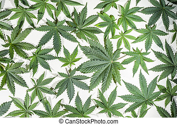 Green cannabis leafs - Full frame of green cannabis / hemp /...