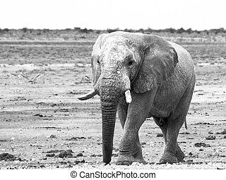 Old huge african elephant standing in dry land of Etosha...