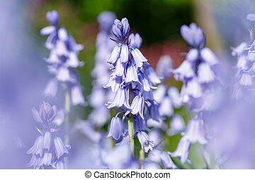 Blomstrar, Närbild, blåklocka