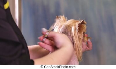 Groomer making a stylish haircut of the dog - Groomer makes...