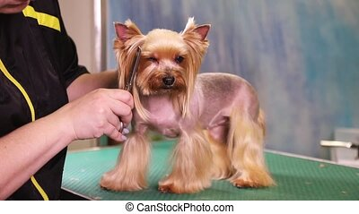Yorkshire terrier dog grooming at pet salon - Groomer using...