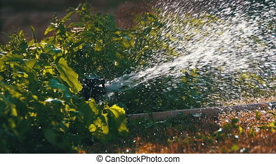 Garden Irrigation Sprinkler Watering Lawn in Slow Motion -...