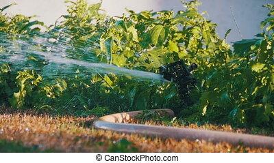 Head Of Garden Sprinkler Working Watering Grass in Slow...