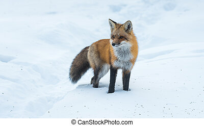Elusive shy Red Fox, (Vulpes vulpes), visits on winter day....