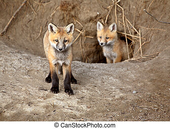 Two Red Fox pups outside their den
