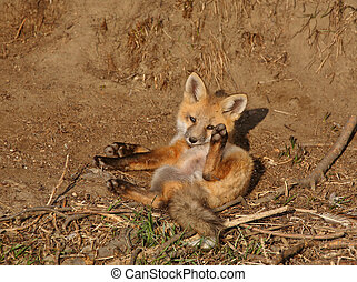 Red Fox pup outside their den Saskatchewan Canada