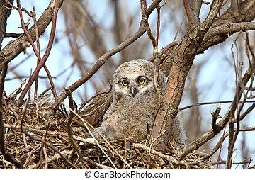 Great Horned Owl owlet in nest