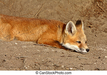 Red Fox pup outside its den