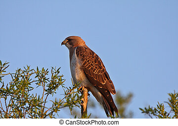 Swainsons Hawk perched on branch end