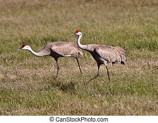Sandhill Cranes during courting season
