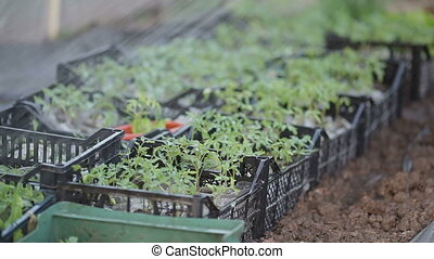 Tomato plant watering - Watering of tomato plant seedlings...