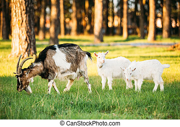 Goat And Two Kid Goat Grazing On Green Summer Grass On A...
