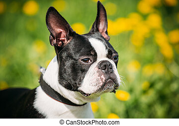 Funny Young Boston Bull Terrier Dog Outdoor In Green Spring...
