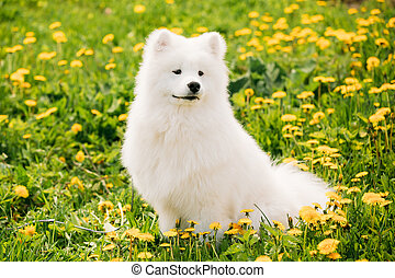 Young Happy Smiling White Samoyed Dog Or Bjelkier, Sammy Sit...