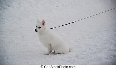 White Swiss Shepherd dog with leash standing on snow - White...