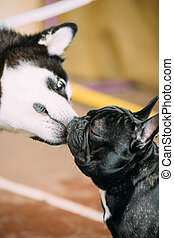 Funny Lovely Dogs - Alaskan Malamute And French Bulldog Dogs...