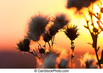 Cotton grass sunset - Cotton grass on a background of the...