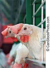 Hens in cage