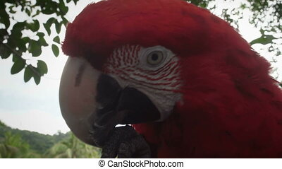 Close-up portrait of chewing parrot in the jungle