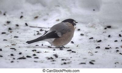 Bullfinch eating seeds - Bullfinch female on snow eating...
