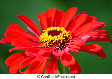 Red Vibrance - Bright red petals surrounding a lively yellow...