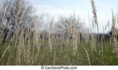 Sun corn plase landscape - Corn ears of wheat swaying in the...
