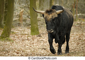 Aurochs animal Bos primigenius with large horns