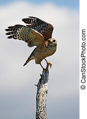 Red-shouldered Hawk (Buteo lineatus) in a tree in the...