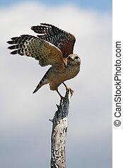vermelho-shouldered, falcão, (Buteo, lineatus)