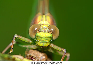 Dragonfly Eyes Macro - Vibrant green eyes of a dragonfly in...