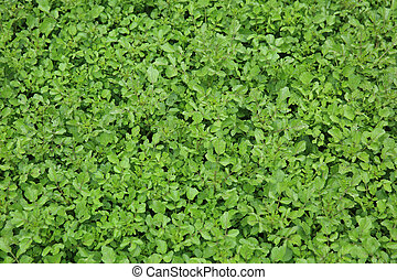 green watercress plants in growth at vegetable garden