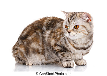 brown striped cat lying on white background and looking up -...