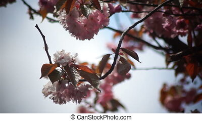 Spring flower pink sun branch - Pink cherry flowers blooming...