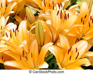 The orange lily flowers in garden in Toronto, Canada, July...