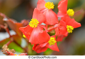 Flowers begonia. Begonia is a flower of extraordinary...