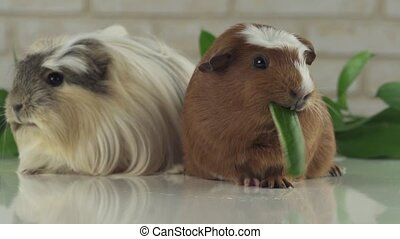 One guinea pig eating cucumber and second thought slow...