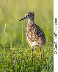 Black-tailed Godwit wader bird chick standing in meadow -...