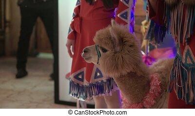 Brown lama indoors closeup shot