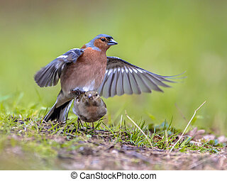Pair Mating Common Chaffinch on lawn - Pair of Common...