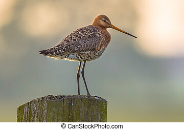 Suspicious Black-tailed Godwit on post with pastel colored...